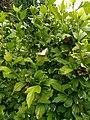 Unidentified-butterfly-20190609-175530.jpg