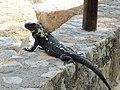 Unidentified lizard -Huatulco, Mexico-8.jpg
