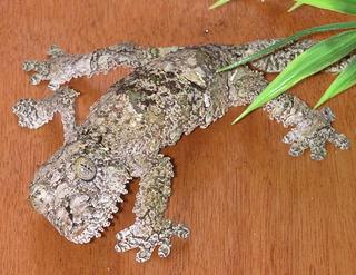 <i>Uroplatus</i> Genus of lizards