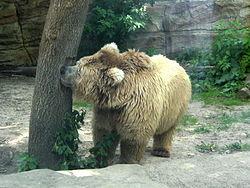 Ursus arctos isabellinus (in Kiev Zoo).JPG