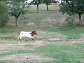 Vaca berrenda en el campo charro. Valdelazarza.JPG