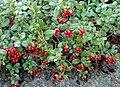 Vaccinium vitis-idaea 09.JPG