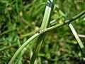 Vankya ornithogali Gagea pratensis JuliaKruse 1.jpg