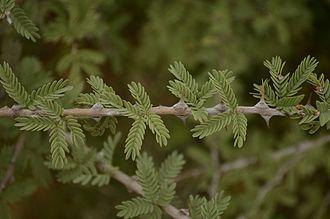 Prosopis cineraria - Prosopis cineraria Branch