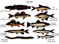 Various sweetwater fish with Arabic text.jpg