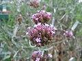 Verbena bonariensis 2zz.jpg