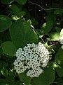 Viburnum lantana - Crna udika.jpg