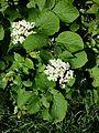 Viburnum lantana sl3.jpg