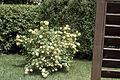 Viburnum opulus roseum WPC.jpg