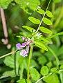 Vicia sepium in Causse Comtal.jpg