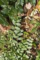 Vicia sylvatica 03.jpg