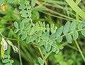 Vicia sylvatica in Morzine (2).jpg