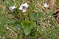 Viola.palustris2.-.lindsey.jpg