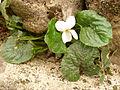 Viola odorata var. albaIsaba2015.jpg