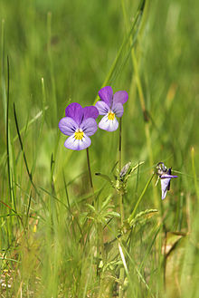 Heartsease flowers.