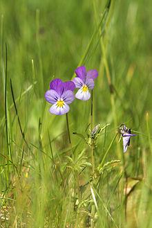 Viola tricolor LC0041.jpg