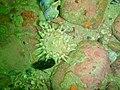 Violet spotted anemone at Pinnacle PB022201.JPG