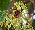 Volucella zonaria - Flickr - gailhampshire (5).jpg