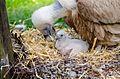 Vulture (26041910363).jpg