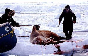 Inuit cuisine - Walrus hunting