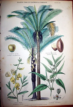 Negro-Branco moist forests - The endemic piassava palm. 1874 illustration by Walter Hood Fitch.