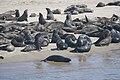 Walvis Bay - Pelican Point - Otaries du Cap 07.jpg