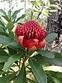 Waratah Flower.jpg