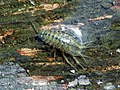 Water Hoglouse (probably Asellus aquaticus) (23315041896).jpg