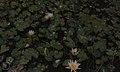 Water lilies in solution hole. Nassau (38154627254).jpg