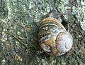Wee Broken Snail (2484268446).jpg