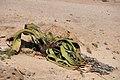 Welwitschie 1.jpg