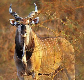 Taurotragus - Giant eland