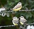 Western Kingbird (fledges and parents) (42714195045).jpg