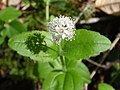 Whipplea modesta.jpg