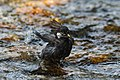 White-cheeked Starling playing with water.jpg