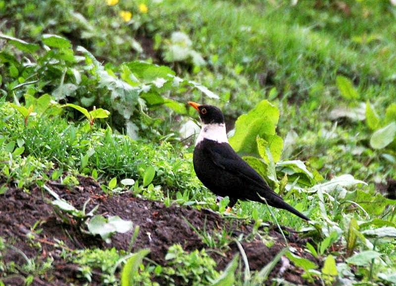 White-collared Blackbird (Male) I IMG 7377