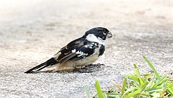 White-collared Seedeater (Sporophila torqueola) (5783817166).jpg