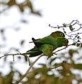 White-eyed Parakeets (Aratinga leucophthalma) Seen only once ... (28839121046).jpg