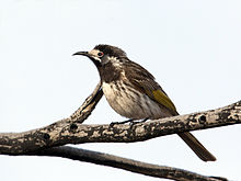 White-fronted Honeyeater (5038757464).jpg