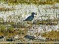 White-tailed Lapwing (Vanellus leucurus), Sulemanki, Punjab (15706995320).jpg
