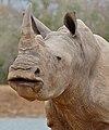 White Rhino (Ceratotherium simum) (31705870833).jpg
