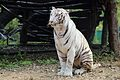 White Tiger at Nehru Zoological park, Hyderabad.jpg