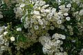 White climbing rose at Boreham, Essex, England 1.jpg