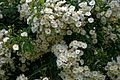 White climbing rose at Boreham, Essex, England 2.jpg