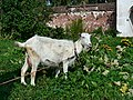 White goat at Rizopolozhensky Convent in Suzdal.jpg