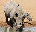 White rhinoceros or square-lipped rhinoceros, Ceratotherium simum at a location in South Africa (15274319109).jpg