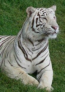 Tigre Blanc Wikipedia