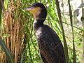 Whitebreasted cormorant.jpg