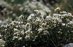 Whitlowgrass-1.jpg