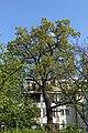 Wien-Hietzing - Naturdenkmal 676 - Stieleiche (Quercus robur).jpg